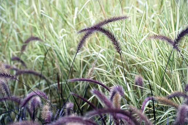 Ornamental Grass: A Low-Maintenance Alternative. Pictures and Descriptions of Ornamental Grasses