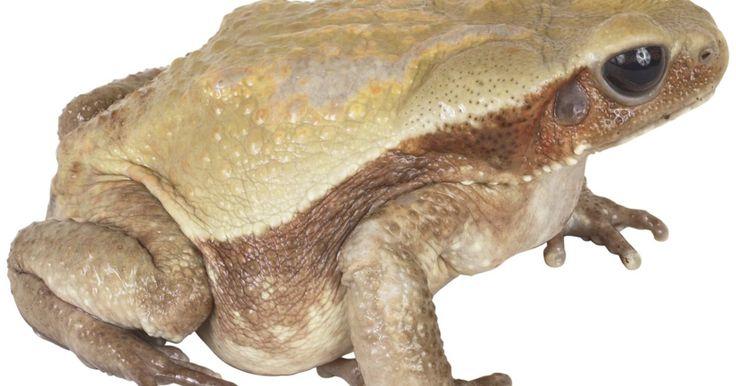 El promedio de vida de las ranas. Las ranas se clasifican en el orden científico Anura. Este incluye a todas las ranas y sapos. En 1995, habían más de 3.500 especies de anuros en el planeta. Los Estados Unidos alberga a 85 de estas especies. Son anfibios de sangre fría que viven parte de su vida en el agua y parte de su vida en la tierra. Todas pasan por el mismo ciclo de vida, ...