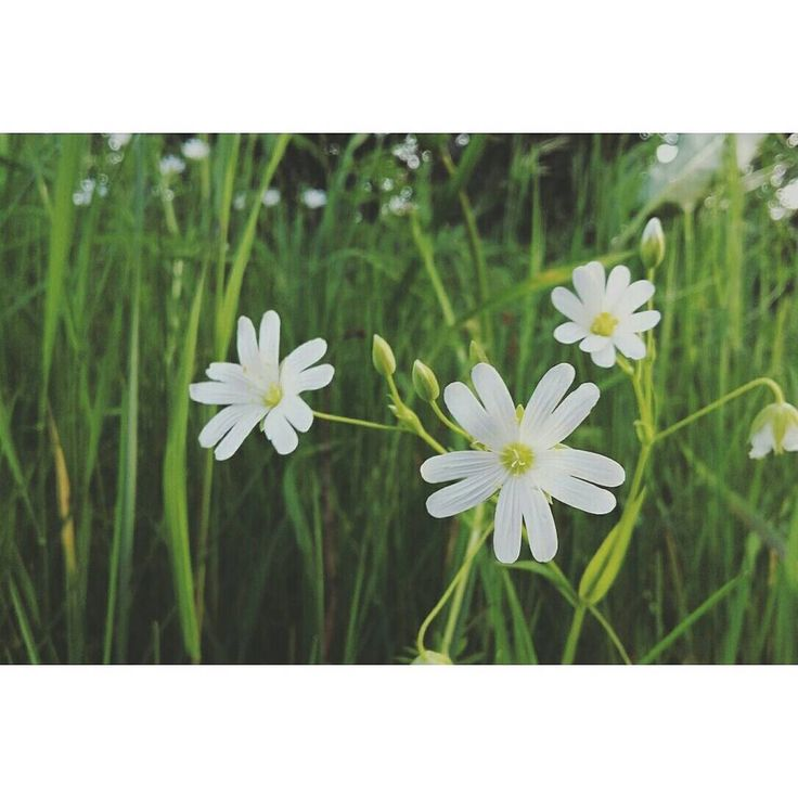 Stellaire holostée #fleur #picoftheday #latergram #white #spring #douceur #beautiful #green #nature