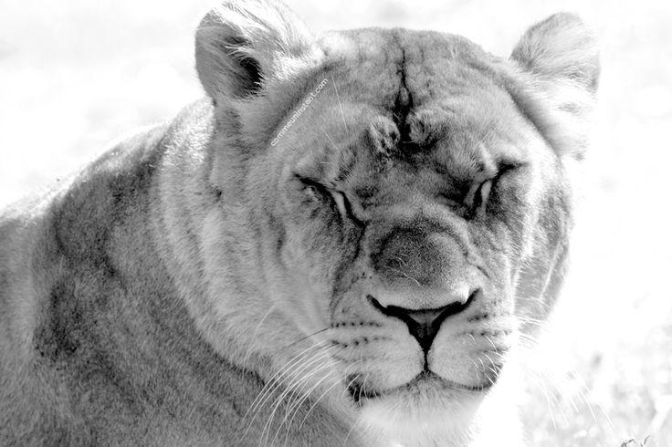 Animaux  * Lionne http://www.commeuninstant.com/galerie/faune-et-flore/animaux/jardin-animalier