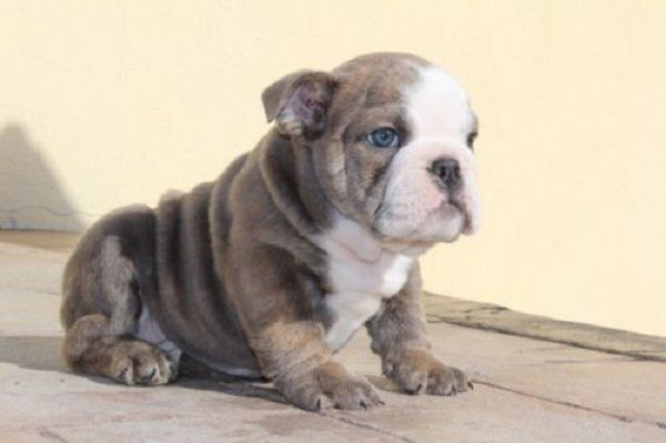 blue english bulldog puppies for sale 1000 ideas about english bulldog puppies on pinterest 7382