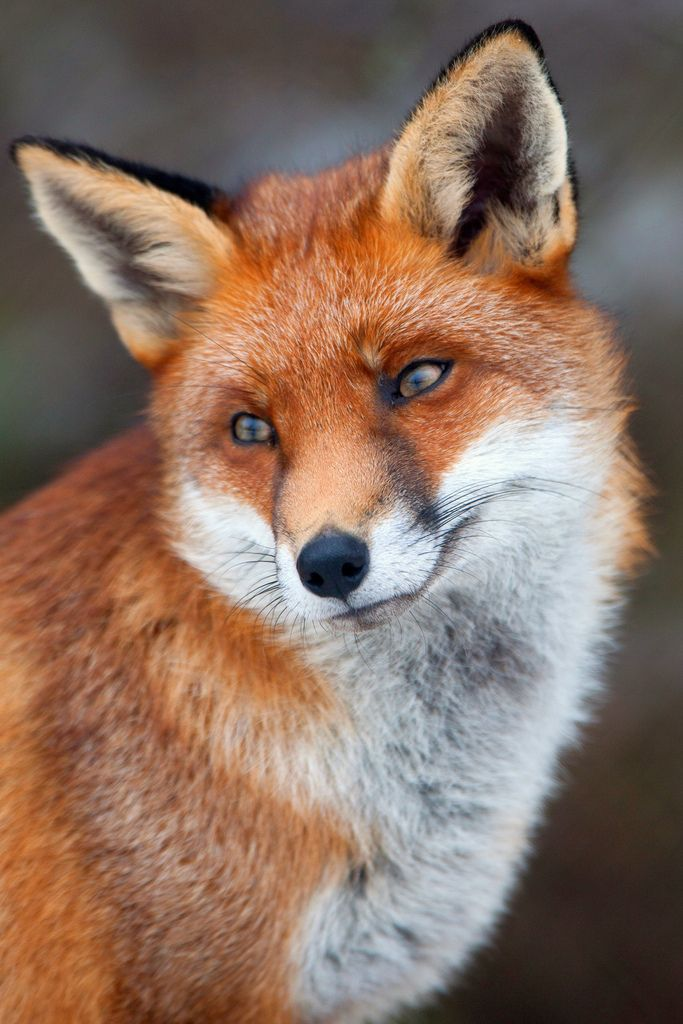 Red Fox; Pretty as All Get Out!