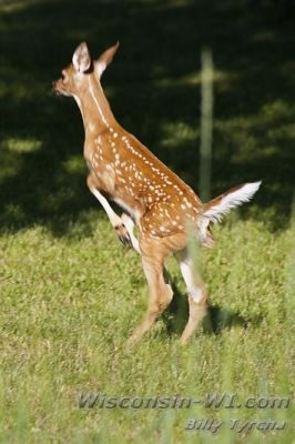 Wisconsin White-Tailed Deer Fawn---Very Cute