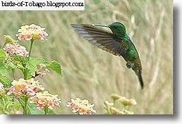 Copper-rumped hummingbird  http://birds-of-tobago.blogspot.com/2013/10/copper-rumped-hummingbird.html  #Copper-rumped hummingbird #hummingbird #hummingbirds #birds #Tobago #West Indies #Caribbean
