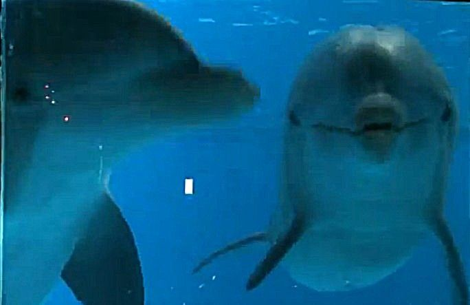 Dolphins Love Looking At Themselves -- The Animal Video of the Day!!!  ... from PetsLady.com ... The FUN site for Animal Lovers
