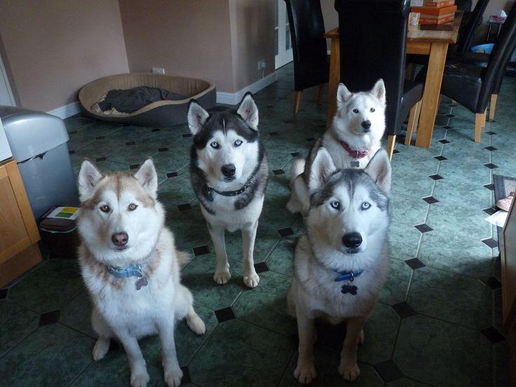 Hmm, I think the Huskies want something... must be fooooood!!