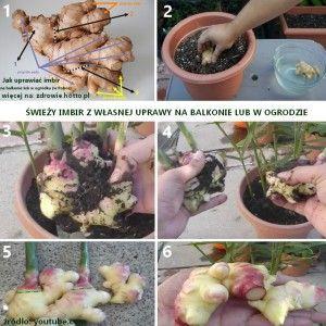 zdrowie.hotto.pl-jak-uprawiac-imbir-w-polsce-w-ogrodzie-na-balkonie