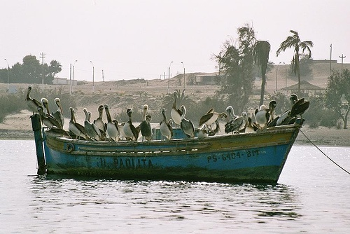 Pelicans, Peru (analog photography)