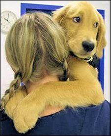 Adopt...Golden Beginnings, Golden Retriever Rescue