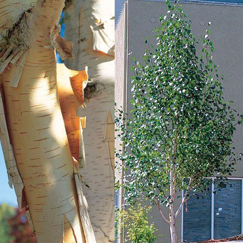 Betula utilis var. jacquemontii: the whitest of the white trunked birch with lovely straight trunks and elegant shape.