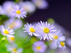 Daisies flowers wallpapers