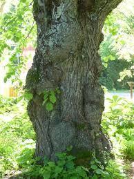 Kuvahaun tulos haulle tilia x vulgaris
