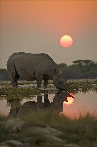 Endangered Black Rhino drinking at a waterhole in Etosha National Park, Namibia  #sunset  #nature #photography