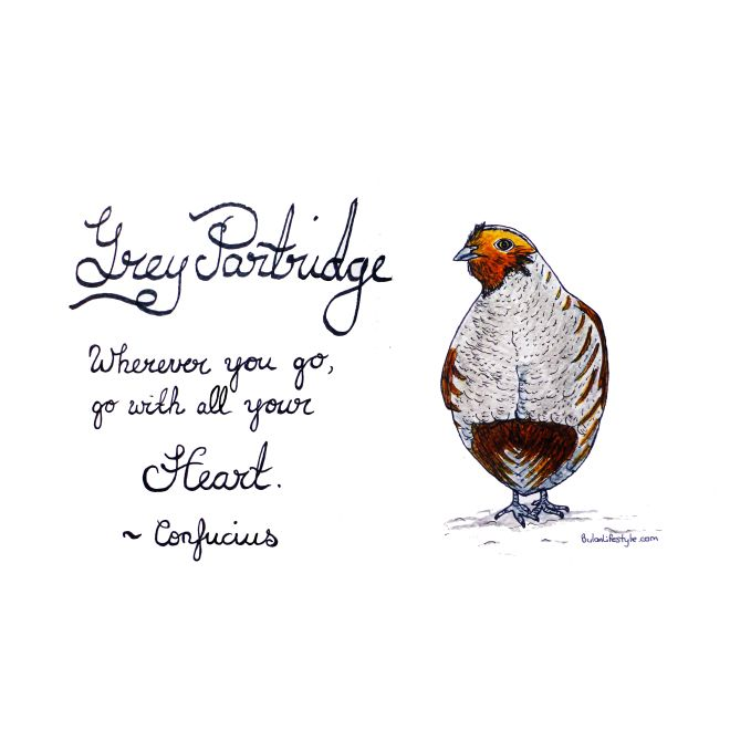 Sketch of the day no 780 in my monologue art journal: Grey Partridge. Whereever you go, go with all your heart ~ Confucius