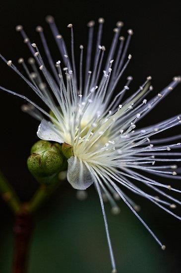 Acacia angustissima. esta flor ya sé vé que no es azul.... pero es que me inspira una ternura, unos sentimientos, al ver la transparencia, la fragilidad de los pistilos, a que es hermosa, merece estar en un sitio de honor. claro, soy una blandita,