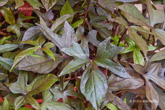 A trópusokról származó, a hajnalkák nemzetségébe tartozó fagyérzékeny lágyszárú dísznövény, melyet hazánkban többnyire egynyáriként nevelnek.