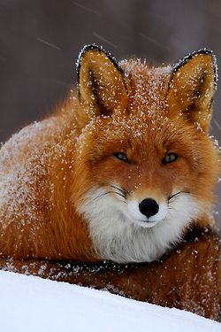 Snowy Fox by Igor Shpilenok