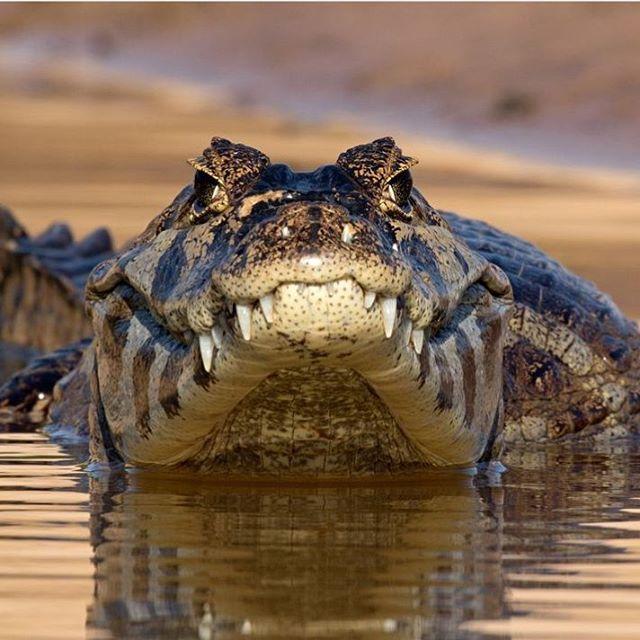 . YACARE CAIMAN. Photo by @giovannimariphoto Yacare Caiman, Pantanal - Brazil. #pantanal #caiman #brazil #yacare #crocodile