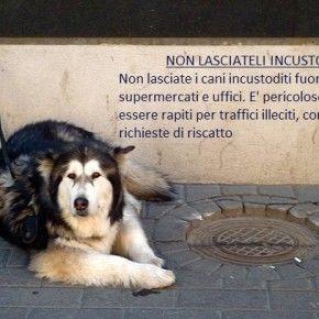 Non lasciare mai il tuo cane al gancio fuori da negozi, banche, uffici. Potrebbe essere rapito per essere usato nell'accattonaggio, nell'allenamento per i combattimenti, nelle estorsioni, ecc. Passaparola.