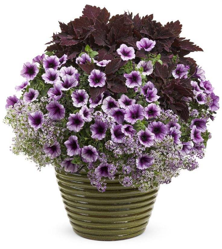 Proven Winners | Plugged-in Plum  'Supertunia Bordeaux,' Alyssum 'Blushing Princess,' and Coleus 'ColorBlaze Marooned'