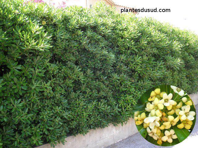 Pittosporum tobira, un grand classique du Sud, résistant au sec et aux embruns, floraison printannière au parfum de fleur d'oranger, pour une haie moyenne à haute.