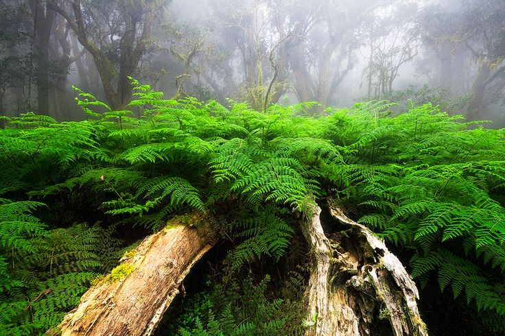 Misty Forest Scenery   Magoebaskloof Forests, Limpopo, South Africa