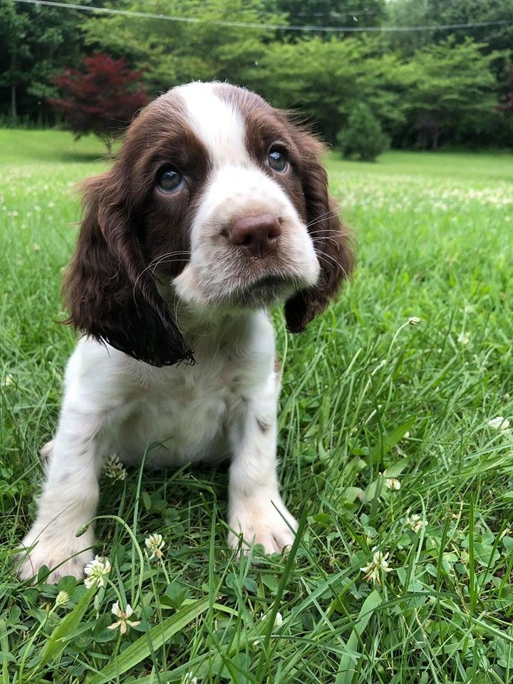 Pin By Claire Robinson On Springers Baby Dogs Springer Spaniel Puppies Cocker Spaniel Dog