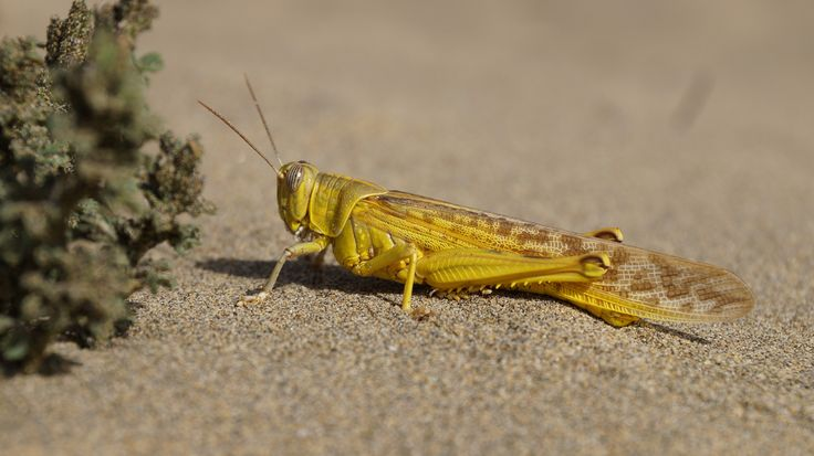 free pictures grasshopper