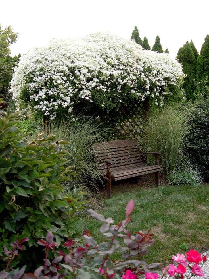 weiße Waldreben schmücken eine Pergola und schaffen Beschattung