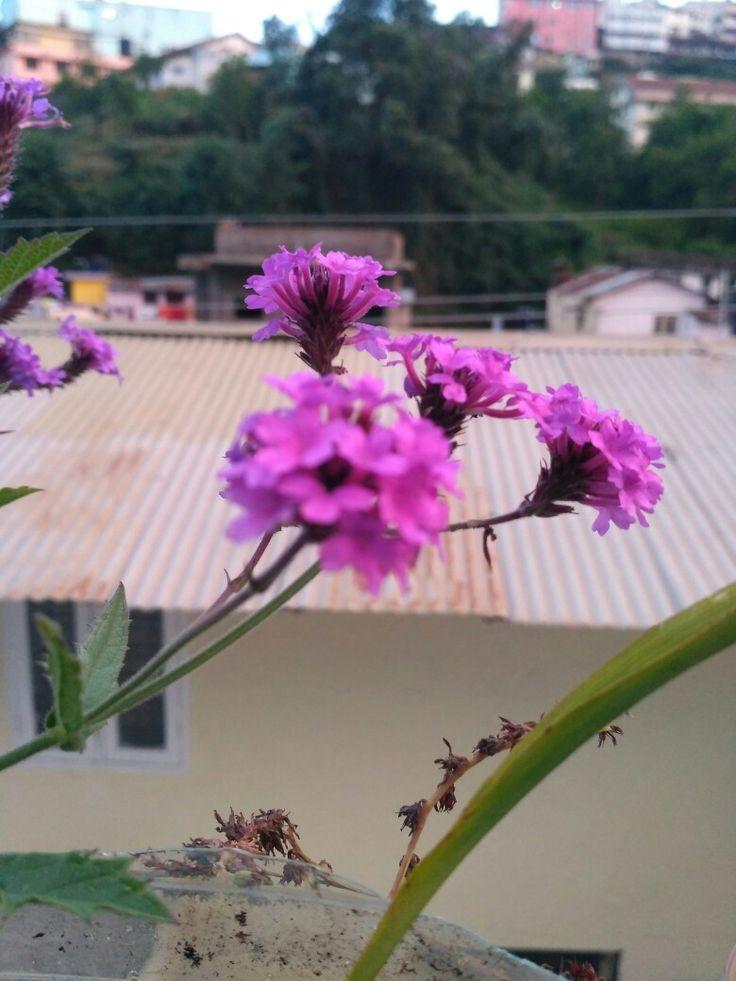 Purple flower on my terrace😉