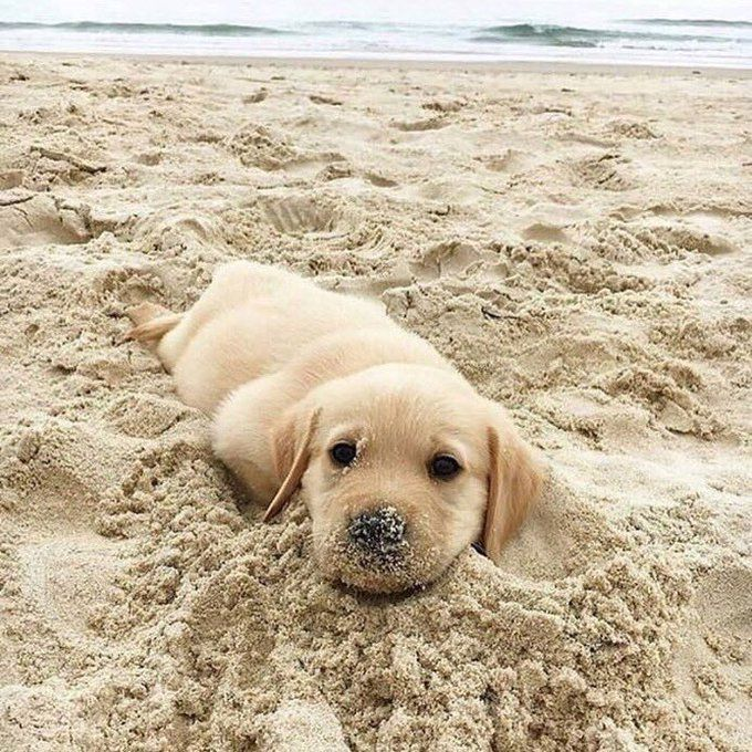 Who can resist a puppy playing in the sand?  Look at that nose!