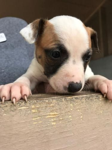 Freeport, FL - Meet Landy, an adoptable 2 month old female Boxer & Beagle Mix, looking for a forever home; Located at Alaqua Animal Refuge Freeport, FL