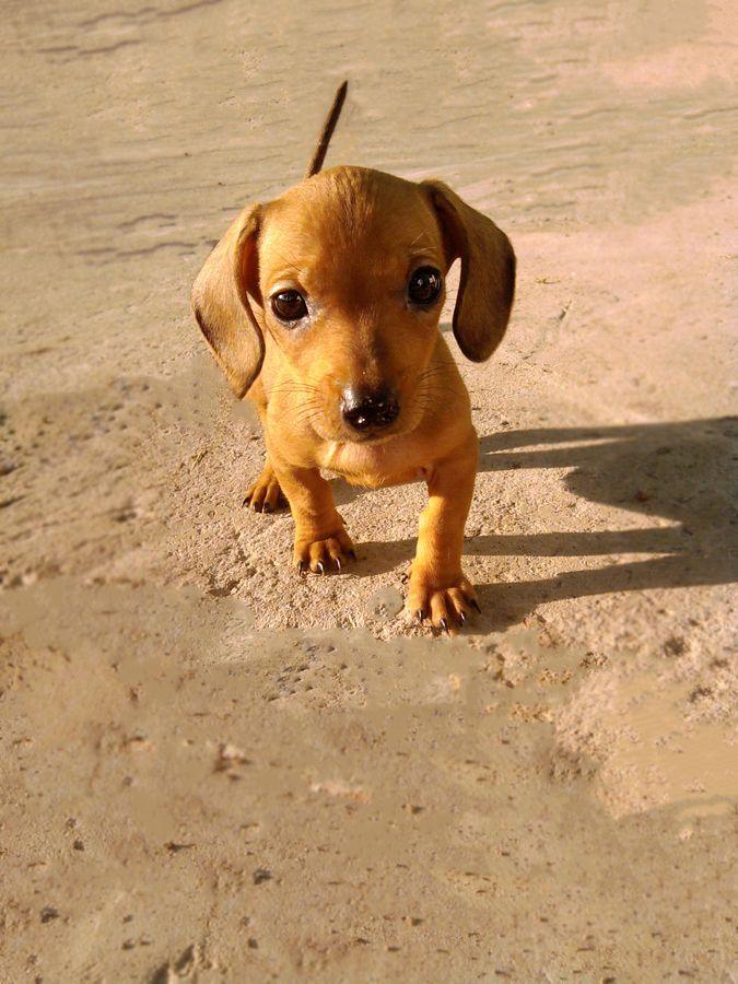 Dachshund puppy by Andrey Gorbakov, via 500px