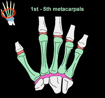 In human anatomy, the metacarpus is the intermediate part of the hand skeleton that is located between the phalanges (bones of the fingers) and the carpus which forms the connection to the forearm. The metacarpus consists of metacarpal bones. http://www.learnbones.com/hand-bones-anatomy/