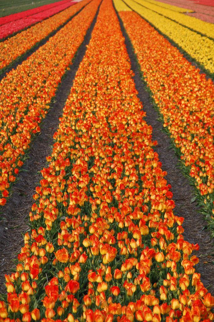 Tulip Fields Netherlands 277 best TULIPS FIELDS