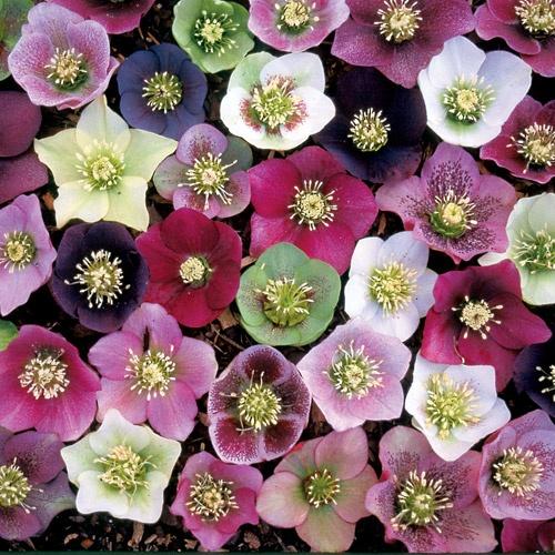 Lenten Rose Royal Heritage strain - Park Seeds: Gardens Heritage, Strain Lenten, Roses Royals, Royals Heritage, Lenten Roses, Gardens Flower, Shades Gardens, Hellebor Lenten, Gardens Plants
