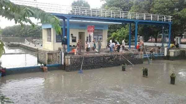 Ribuan Ekor Ikan di Kali Surabaya Mabok