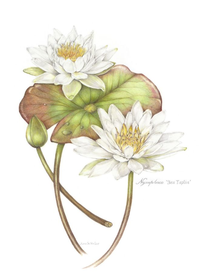 Botanical Illustration Nymphaea 'Bea Taplin', colored pencil by Annie Reiser