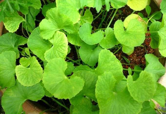 Para Que Sirve La Centella Asiatica Buena Salud Plantas Medicinales Plantas Hierbas