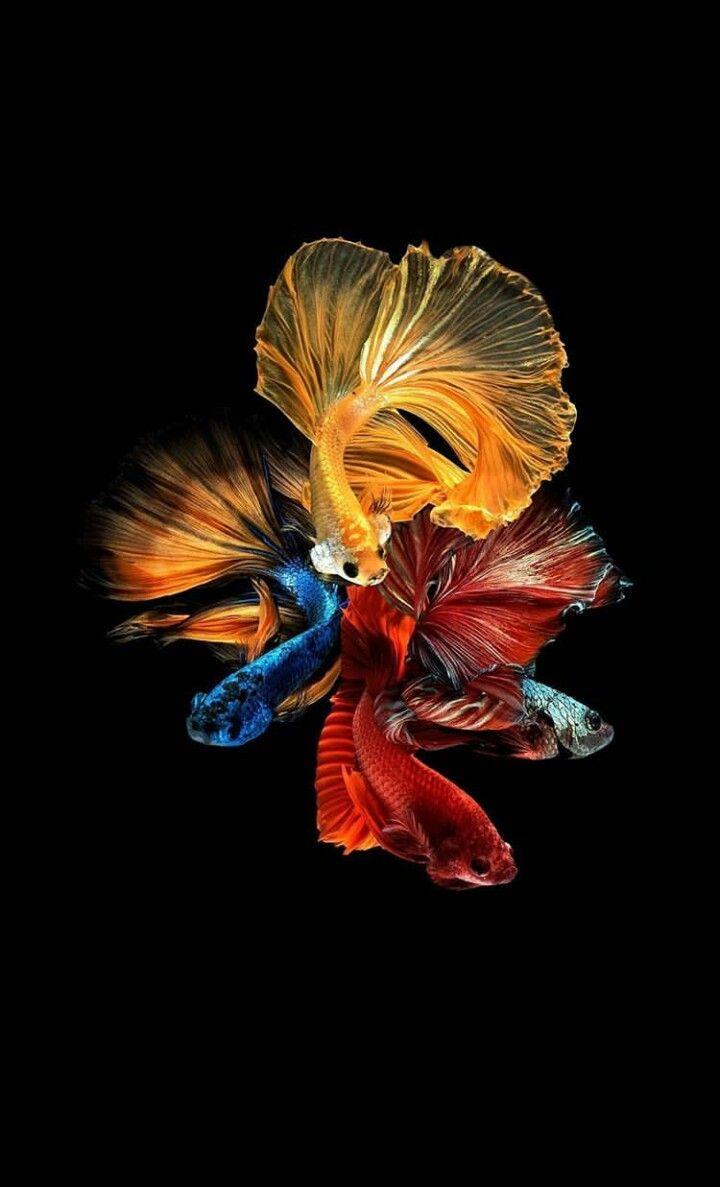 Pin Oleh Ans Iqbal Iqbal Di Ikan Fish Wallpaper Betta Fish Dan Fish Art
