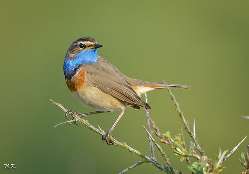 The Bluethroat (Luscinia svecica) is a migratory insectivorous species breeding in wet birch wood or bushy swamp in Europe, Asia and western Alaska.