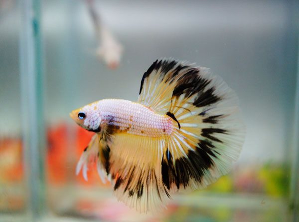 For sale by banleangbettas on fancy yellow for Black betta fish for sale