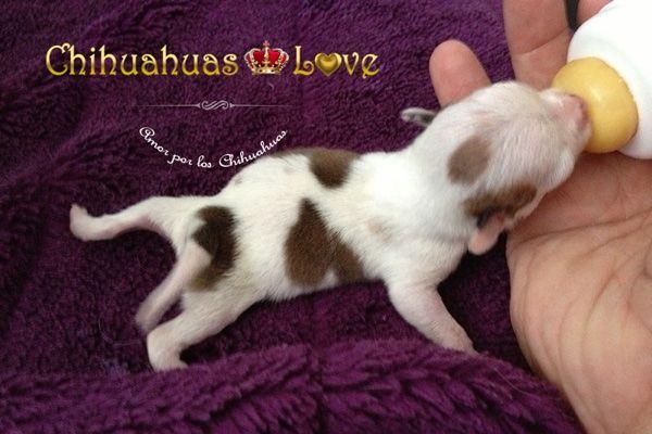 Chihuahuas Love - Información Raza Chihuahua. Blog.