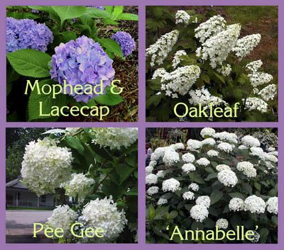 Hydrangea Identification - knowing which type dictates how they are pruned. Look before buying to get the variety that fits your style...and look before whacking to maximize bloom!
