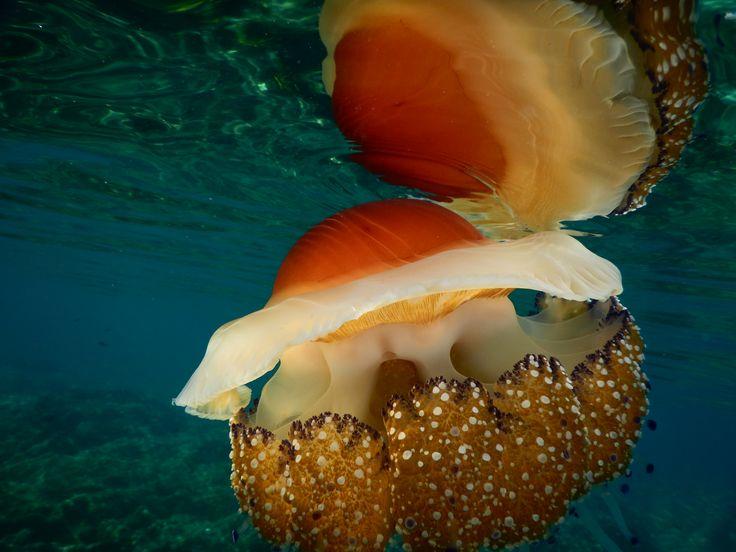 Colorful jellyfish found in Halkidiki