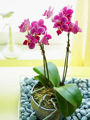 Orchids are no more difficult to care for than ordinary houseplants. They require slightly different watering and fertilizing techniques, but with this easy guide you'll be growing beautiful orchids in your home in no time. Bonus: We name the easiest orchid varieties to care for to guarantee success.