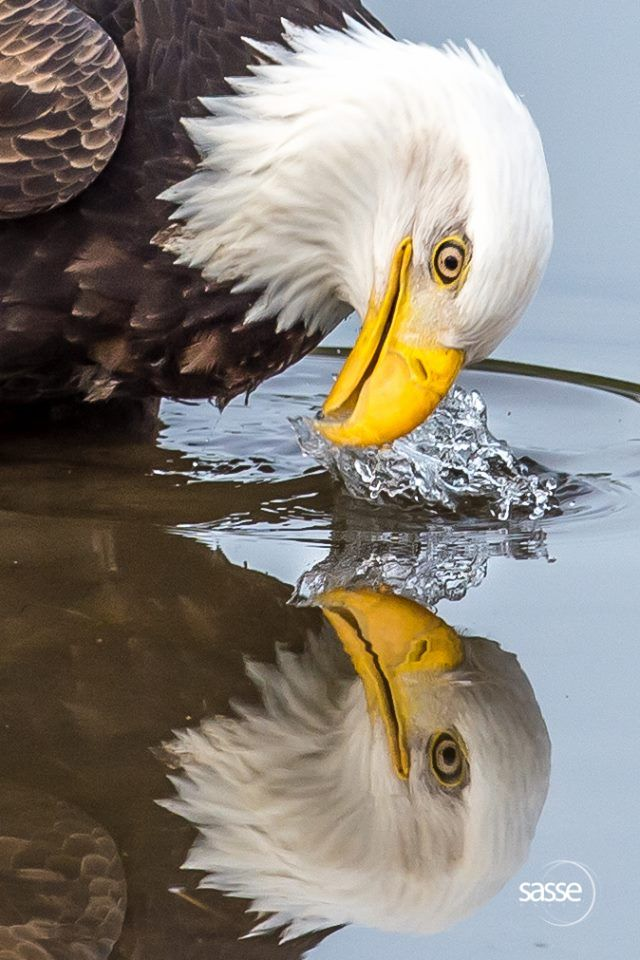 Wild Eagle with Water Mirror