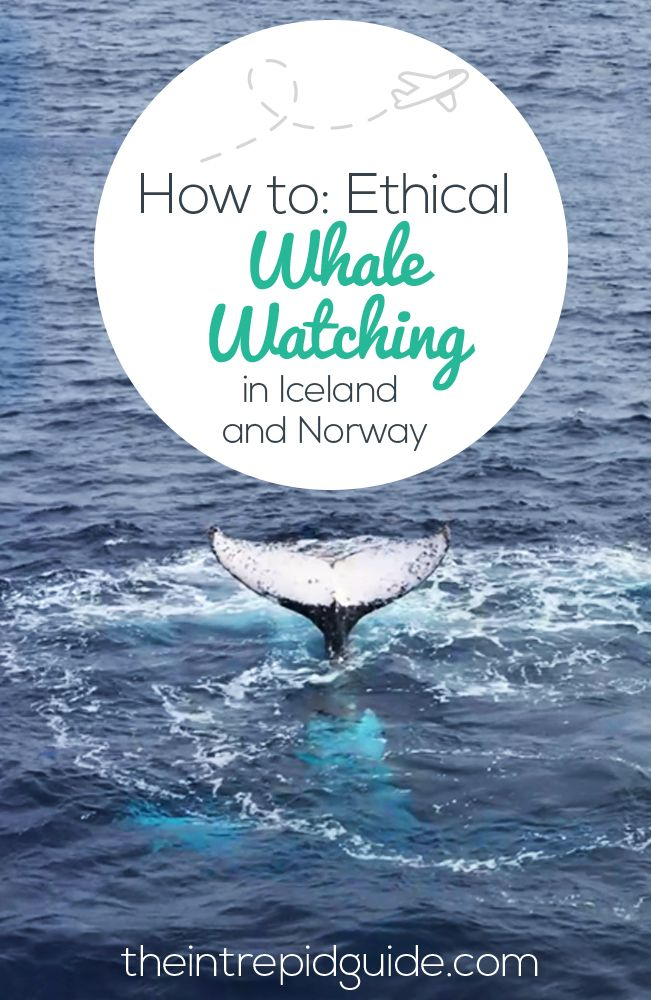 Not all whale watching tours are created equal. Here's how to go whale watching in Iceland and Norway ethically. #whales #humpbacks #orcas #whalewatching #tromso #norway #travel