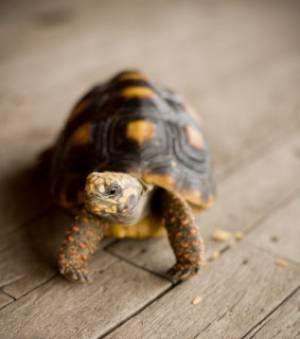 La naissance d'une petite tortue grecque