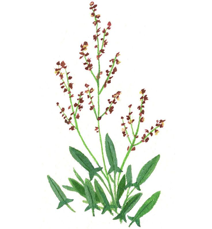 "This is Sheep Sorrel, delightfully bright to taste and its beautiful, delicate leaves have a ""tooth"" that's almost succulent. It's delicious as a salad, in tacos and in omelets. Learn how to make salad from the sidewalk with this guide to foraging for greens in your backyard and on the street. (Image: Becca Stadtlander)"